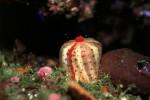 写真:波戸岬海中公園-水中写真 イソギンチャクの仲間