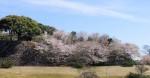 写真:名護屋城跡桜の季節