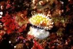 写真:波戸岬海中公園-水中写真 ウミウシの産卵
