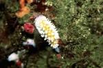 写真:波戸岬海中公園-水中写真 ニセイガグリウミウシ