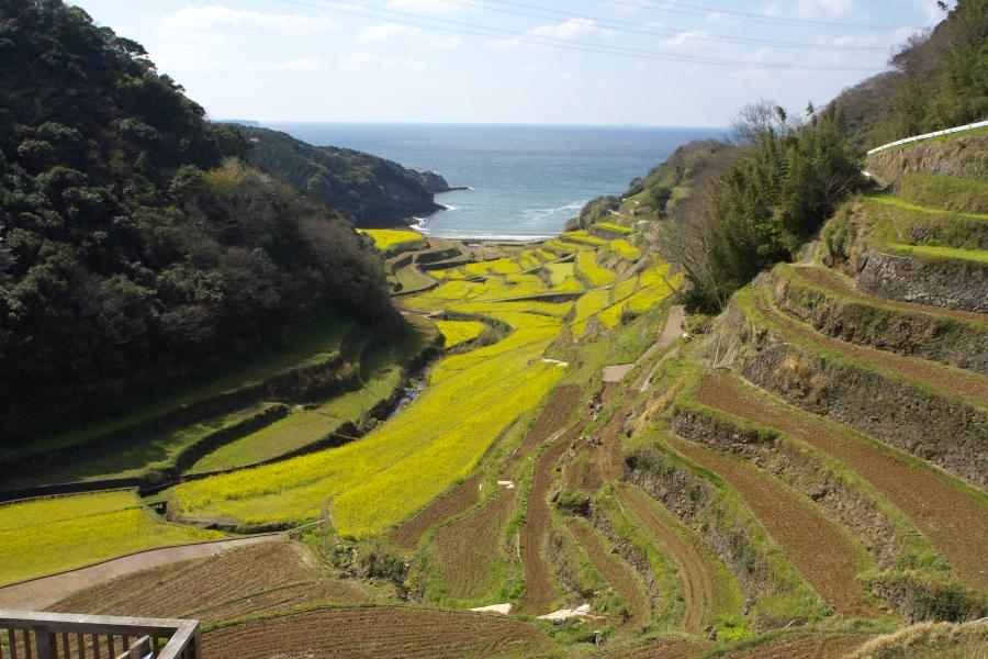 浜野浦の棚田 菜の花の季節